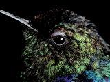 Hummingbird Resting  Barro Colorado Island  Panama