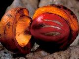 Fruit of Wild Nutmeg  Barro Colorado Island  Panama
