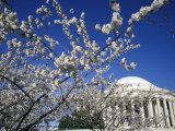 Cherry Blossom Festival and the Jefferson Memorial  Washington DC  USA