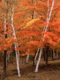 White Birch Trees in Fall  Vermont  USA