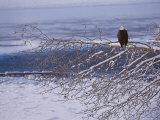 Bald Eagle  Chilkat Bald Eagle Preserve  Valley Of The Eagles  Haines  Alaska  USA