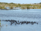 Ducks and Wildlife in Salt Marsh  Florida  USA