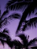 Palm Trees with Moon  Hawaii  USA