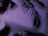 Palm Trees at Dusk with Crescent Moon  Big Island  Hawaii  USA