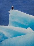 Bald Eagle on an Iceberg in Tracy Arm  Alaska  USA