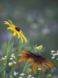 Black-Eyed Susan and Gloriosa Daisy  Oldham County  Kentucky  USA