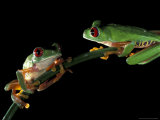 Red-Eyed Tree Frogs  Barro Colorado Island  Panama