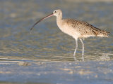 Long-Billed Curlew on North Beach at Fort De Soto Park  Florida  USA