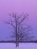 Two Trunked Tree at Sunrise  Chippewa County  Michigan  USA