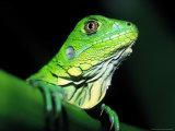 Green Iguana  Borro Colorado Island  Panama