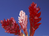 Ginger Trio and Blue Sky  Maui  Hawaii  USA