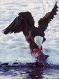 Bald Eagle Pulling a Salmon From the Chilkat River in Alaska  USA