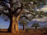 Baobab Trees  Tarangire National Park  Tanzania