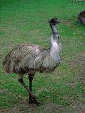 Emu Portrait  Australia