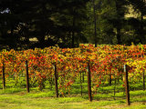 Gapstead Vineyard  near Bright  Victoria  Australia