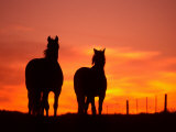Horses at Sunset near Ranfurly  Maniototo  Central Otago