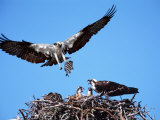 Male Osprey Landing at Nest with Fish  Sanibel Island  Florida  USA