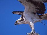 Osprey Close-up