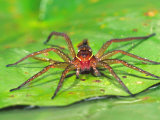 Six Spotted Fishing Spider Feeding on Fly  Pennsylvania  USA