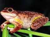 Cuban Tree Frog  Florida  USA