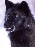 Black Timber Wolf Snarling  Utah  USA
