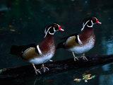 Two Male Wood Ducks  Florida  USA