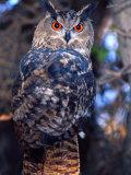 Forest Eagle Owl  Native to Eurasia