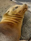 Galapagos Sea Lion  Gardner Bay  Espaola Island  Galapagos Islands  Ecuador