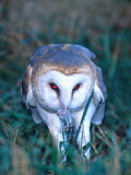 Barn Owl with a Mouse  Native to Southern USA