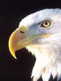 Bald Eagle Portrait  Native to USA and Canada