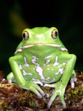 Painted Monkey Frog  Native to Paraguay