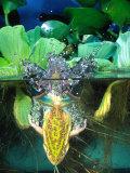 Golden Bell Frog Diving  Native to Australia