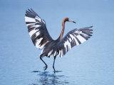 Reddish Egret Fishing  Ding Darling National Wildlife Refuge  Sanibel Island  Florida  USA