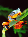 Blue Webbed Gliding Frog  Native to New Guinea