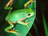 Tiger Leg Monkey Frog  Native to Peru