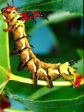 Hickory Horned Devil Caterpillar  USA