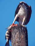 Osprey on Post with Fish