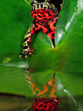 Fire Belly Toad  Native to Northeast China
