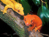 New Caledonia Crested Gecko  Native to New Caledonia