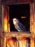 Barn Owl  Native to Southern USA