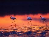 Greater Flamingo  Tanzania