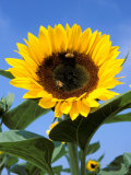 Sunflower with Bees  Santa Barbara  California  USA