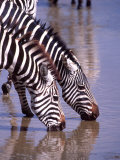 Zebras at the Water Hole  Tanzania