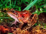 Red-legged Frog  Rana Aurora  Native to Pacific Coast  USA