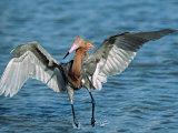 Reddish Egret Fishing in Shallow Water  Ding Darling NWR  Sanibel Island  Florida  USA