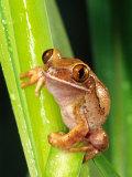 Brown Big Eye Tree Frog  Native to Tanzania