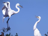 Great Egret in a Courtship Display  Florida  USA