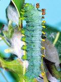Cercropia Moth Caterpillar  Eastern USA