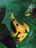 Hieroglyphic Reed Frog  Native to the Camerouns  Africa