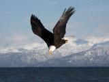 Bald Eagle Diving  Homer  Alaska  USA